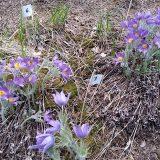 Flowering of eastern pasqueflower was very successful